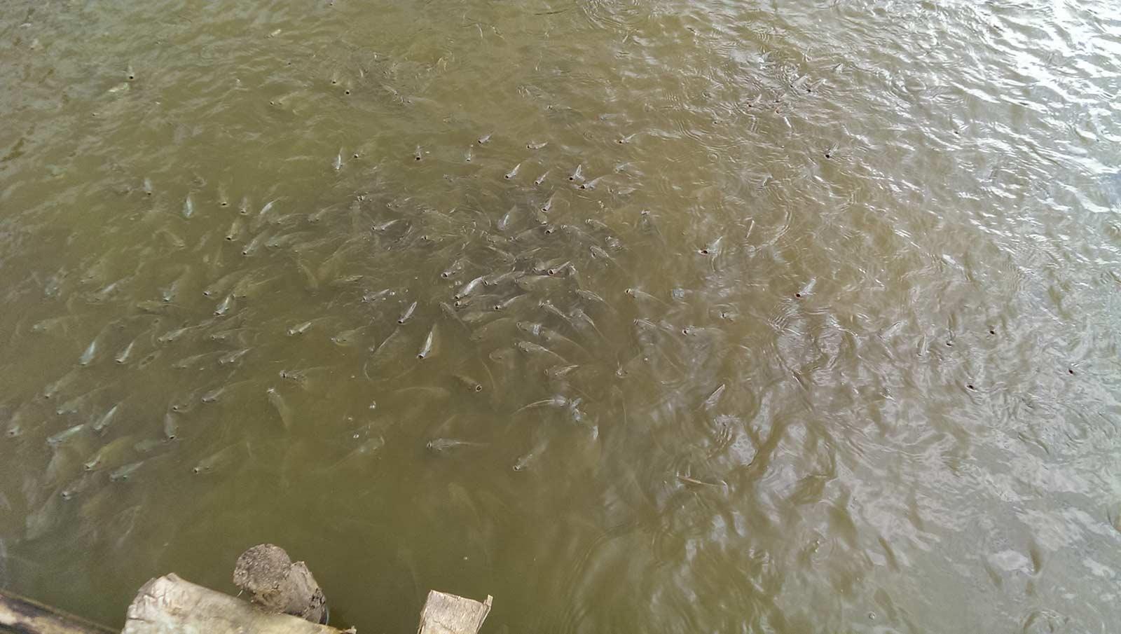 Nourissage de poisson